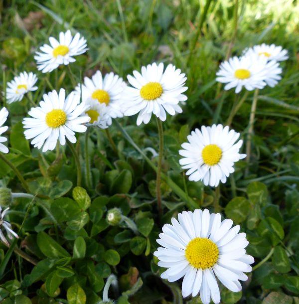 fleur phytoki