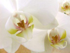 phytoki orchidee